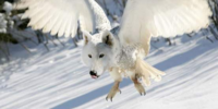 Fox-Owl