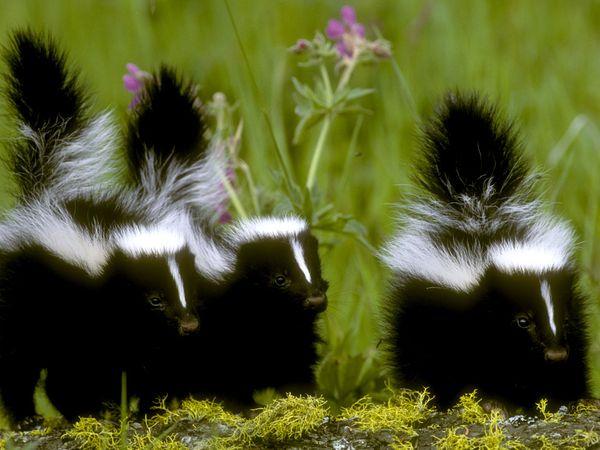 File:Skunk 710 600x450.jpg