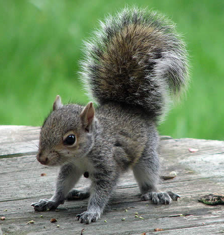 File:Baby squirrel.png