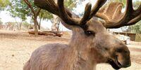 Kanga-Moose