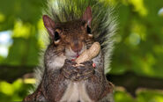 Squirrel-eating-peanut
