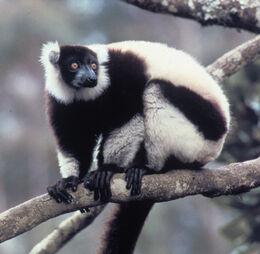 White Ruffed Lemur