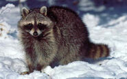 RaccoonLG