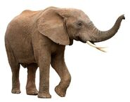 Male African Elephant With Curved Tusks 600