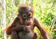 Orangutan-baby-looking1