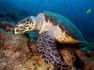 Hawksbill Sea Turtle Costa Rica