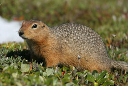 Arctic Ground Squirrel-1-L