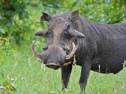 Common Warthog (Phacochoerus africanus) big male (11839008673)