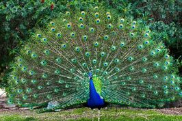 Peacock With Fanned Tail 600
