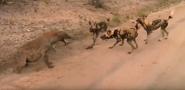 Sabi Sand Wild Safari Live Feb 29 2016 sunrise - Spotted hyena vs wild dogs