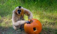 Gibbon gallery1