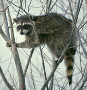 1200px-Raccoon climbing in tree - Cropped and color corrected