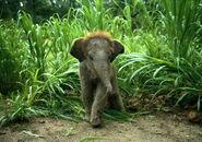 Indian baby elephant