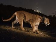 Hollywood-cougar-615