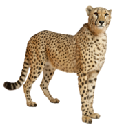 Cheetah PNG14848