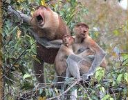 Proboscis-monkey-family-hutan