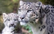 Potd-snow-leopard 3407561b