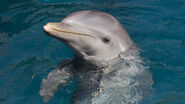 Bottlenose-dolphin-closeup