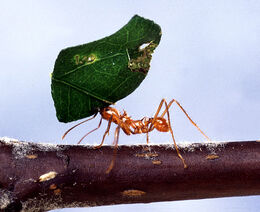 Leaf-cutting ant