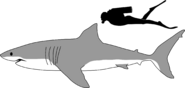 2000px-Great white shark size comparison