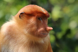 Proboscis monkey (Nasalis larvatus) female Labuk Bay
