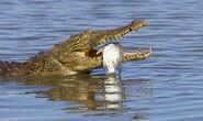 Nile-crocodile gallery 2