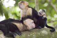 White faced monkey family mother and child 6540 10-L