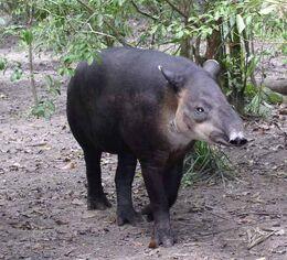 Central American Tapir-Belize20