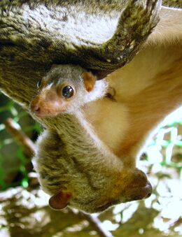 Flying Lemur & Baby, Bohol
