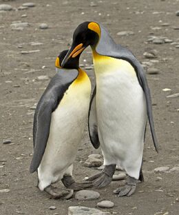 1200106A Pair of King Penguins print copy