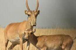 Saiga-Antelope-Pictures