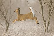 12 White-tailed-Deer1