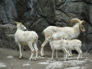 Dall sheep and family by feantalia-d3jpfca