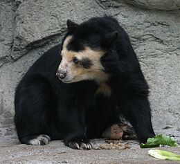 Spectacled Bear - Houston Zoo