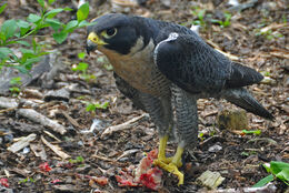 Falco peregrinus -Nova Scotia, Canada -eating-8
