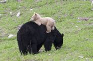 White-bear-cub-whistler