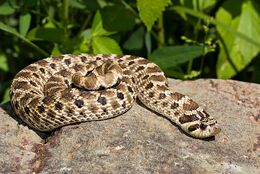 Western-Hognose-Snake-0004