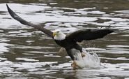Bald Eagle Gathering Photo Gallery-0bb00