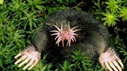 Star-Nosed-Mole-Images