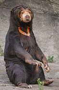 Sitting sun bear
