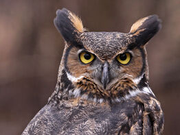 Great-horned-owl-symbolism