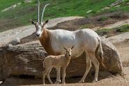 Oryx scimitar calf