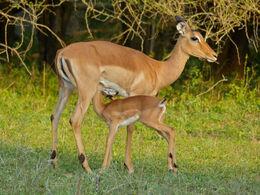 Impalas (Aepyceros melampus) female and young (11421993164)