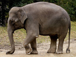 A-elephant img01-l