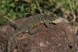 Nile monitor lizard (Varanus niloticus)