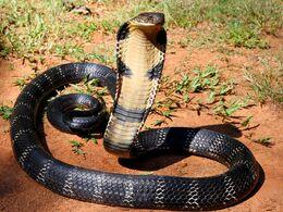 Image 1595 1e-King-cobra