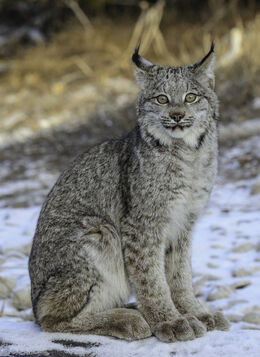 Quiet canadian lynx by white voodoo-d4ukqsi