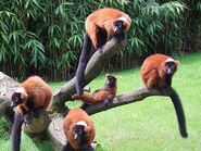 Red-Ruffed-Lemurs