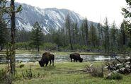 Julie-Larsen-Maher-6451-American-Bison-in-wild bulls-grazing-by-river-YELL-05-06-06