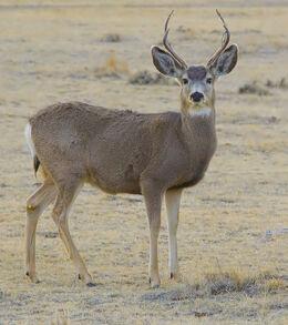 2012-mule-deer-male